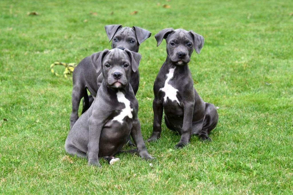 Chiots American Staffordshire Terrier A Vendre Stafford Americain